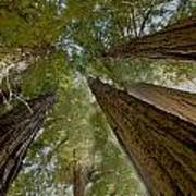 Redwood Canopy Art Print