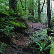 Redwood Forest Scene 1 Art Print