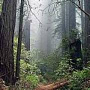 Redwood Mist Art Print