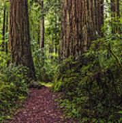 Redwood Path Art Print