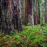 Redwood Sentinels Art Print