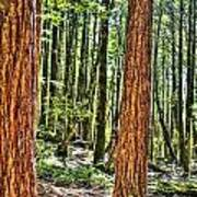 Redwoods 2 Big Basin Art Print