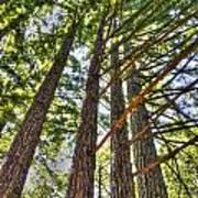 Redwoods 3 Big Basin Art Print