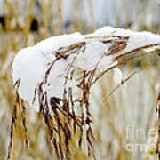 Reed With Snow Art Print