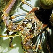 Reef Lobster Close Up Spotlight Art Print