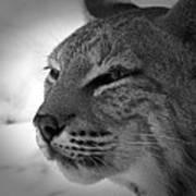 Reflecting Bobcat... Art Print by Christena Stephens