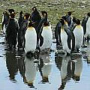 Reflecting King Penguins Art Print