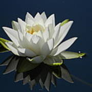 Reflecting Water Lilly Art Print