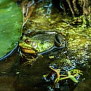 Reflections Of A Bullfrog Art Print