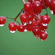 Reflective Red Berries  Art Print