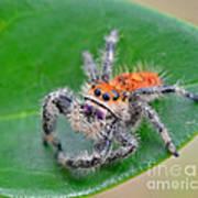 Regal Jumping Spider Art Print