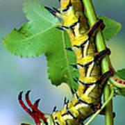 Regal Moth Caterpillar Art Print