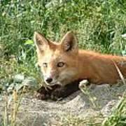 Relaxed Fox Art Print
