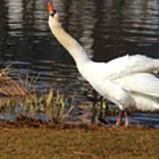 Relaxed Swan Art Print