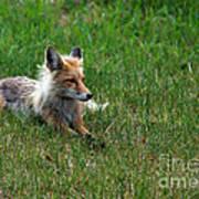 Relaxing Red Fox Art Print