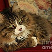 Rescue Cat Living In The Lap Of Luxury Art Print