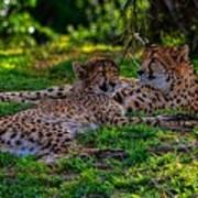 Resting Cheetahs Art Print