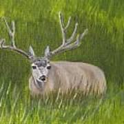 Resting Deer Art Print