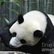 Resting Giant Panda Bear Art Print