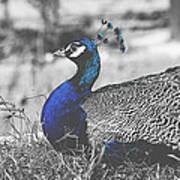 Resting Peacock Art Print