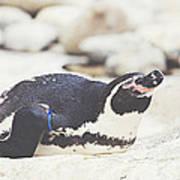 Resting Penguin Art Print