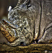 Resting Rhino Art Print