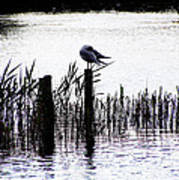 Resting Seagull  Art Print