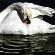 Resting Swan Art Print