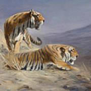 Resting Tigers Art Print