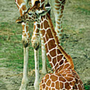 Reticulated Giraffe And Calf Art Print