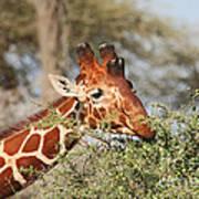 Reticulated Giraffe Browsing Acacia Kenya Art Print