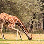 Reticulated Giraffe Drinking At Waterhole Kenya Art Print