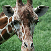 Reticulated Giraffe Art Print