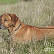Rhodesian Ridgeback Dog Art Print