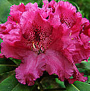 Rhododendron ' Bessie Howells ' Art Print