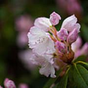 Rhododendron Enborne Art Print