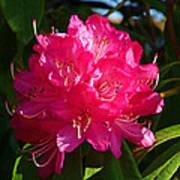 Rhododendron Glow Art Print