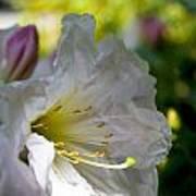Rhododendron In Sun Art Print