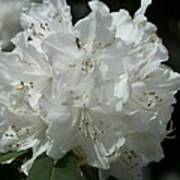 Rhododendron Purity Art Print