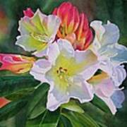 Rhododendron With Red Buds Art Print