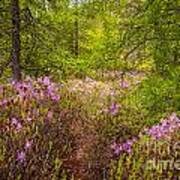 Rhodora Bloom In Acadia Art Print