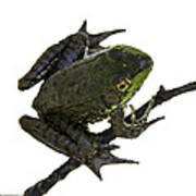 Ribbeting Frog In A Bucket Art Print