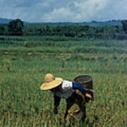 Rice Harvest In Southern China Art Print