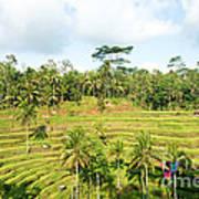 Rice Paddy Field Plantation Art Print