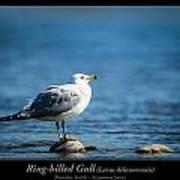 Ring-billed Gull Art Print