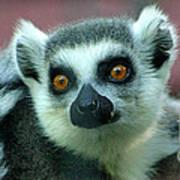 Ring Tailed Lemur-2 Art Print