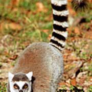 Ring-tailed Lemur Lemur Catta Walking Art Print