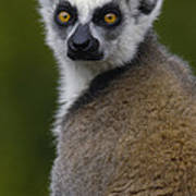 Ring-tailed Lemur Portrait Madagascar Art Print