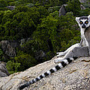 Ring-tailed Lemur Resting Madagascar Art Print