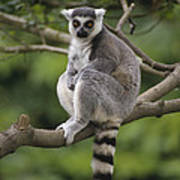 Ring-tailed Lemur Sitting Madagascar Art Print